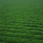 Green Boar Organic Tea015
