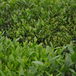 Green Boar Organic Tea020