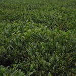 Green Boar Organic Tea021