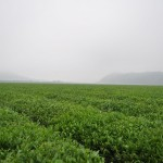 Green Boar Organic Tea035
